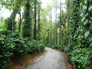 Road leading through the coffee estate.