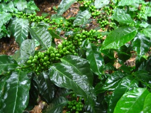 A healthy Arabica coffee plant.