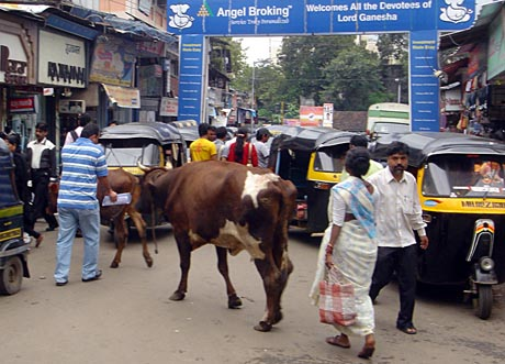 Post image for All About the Holy Cow in India